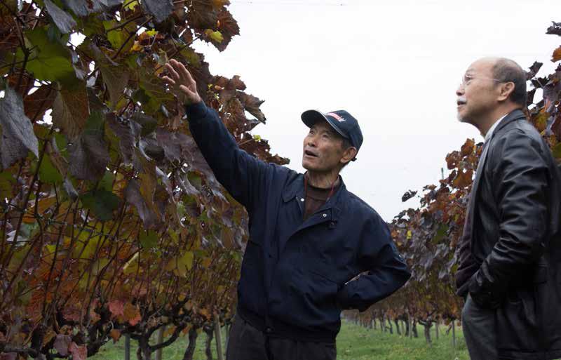 収穫が終わった小田切多聞さんのヤマソーヴィニョンの畑。樹勢をコント ロールしながら栽培する独特の技術が受け継がれている。